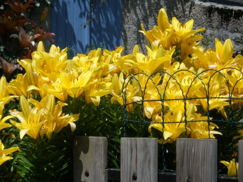 A photo of yellow lilies in Aulon.