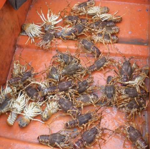 Crayfish in a lobster boat.