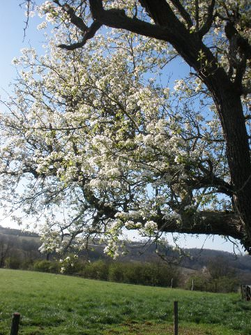 Our massive pear tree in bloom