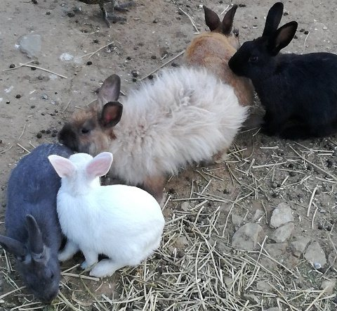 Rabbits at siloam village