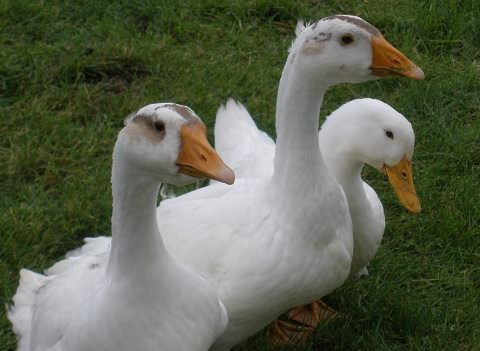 Guineageese and Pekin duck