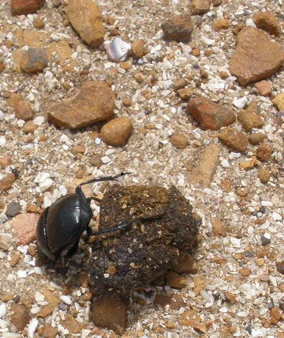 A dung beetle rolling his shit.
