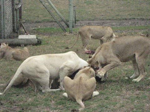 Lions enjoying lunch.