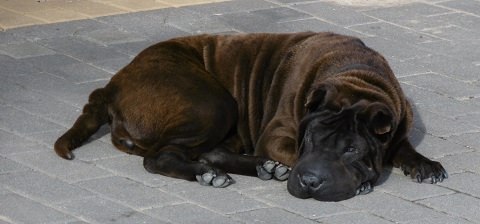 The only dark brown Shar Pei...