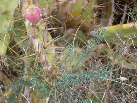 Prickly pear plant & asparagus plant