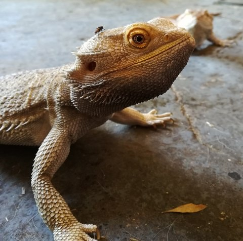 Hayley's Bearded Dragons