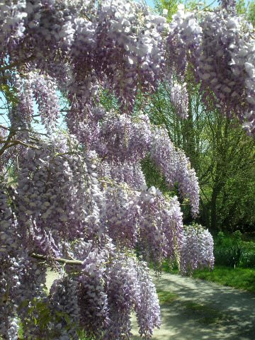 Wisteria in front of the house