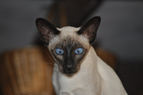 The Siamese kitty Miso
