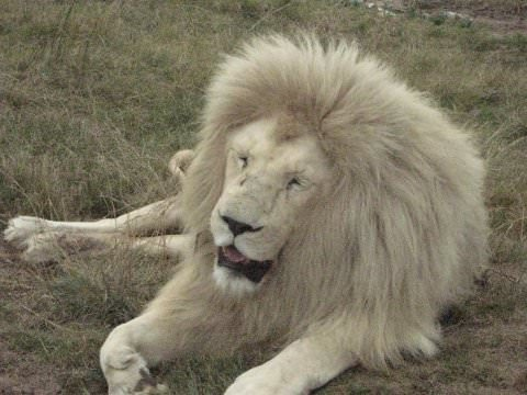 Sleeping white male lion.