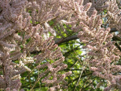 A photo of a tamarisk in spring.